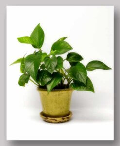 Potted Green Plant